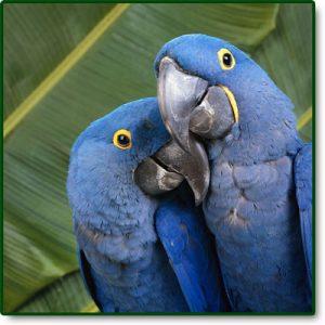 Blue Parrot - OSA Bird Sanctuary