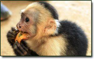 monkey golfo dulce